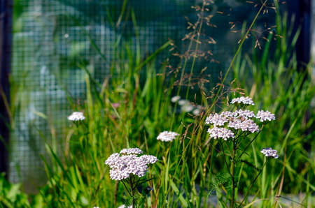 Wild medical plant yarrow with white flowers grows in the garden area on the background of green grass and greenhouse in summer.