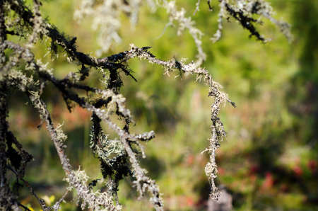 White moss covers a branch of a spruce tree in the wild tundra of Northern Yakutia.