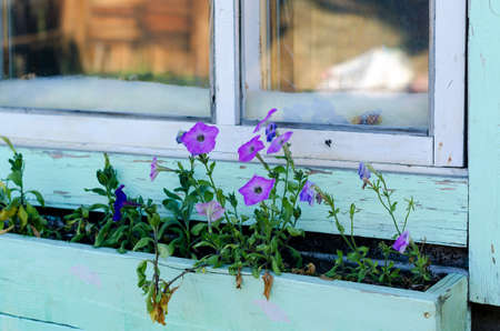 Lilac petunias grow in a long wooden pot by the window with a reflection of the site in the North Yakut house.