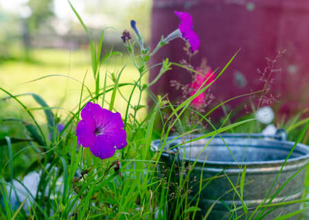 Bright purple Petunia flower grows wildly on the virgin area of grass at the bucket in the summer in the North of Yakutia.