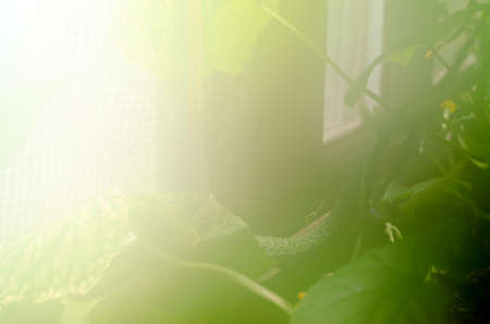 Abstract photo of cucumber in a greenhouse with high humidity and heat at the window bathed in sunlight in the North of Yakutia. Stockfoto