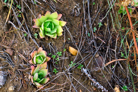 Wild Northern cactus succulent stone rose grows on chalk soil in the wild tundra of Yakutia.