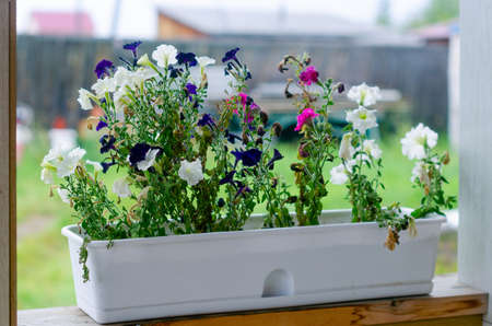 Bright blue,white and crimson buds of Petunia flowers grow in a white long pot on the veranda of a village private house with a lawn and a fence in Yakutia in the summer. Stockfoto