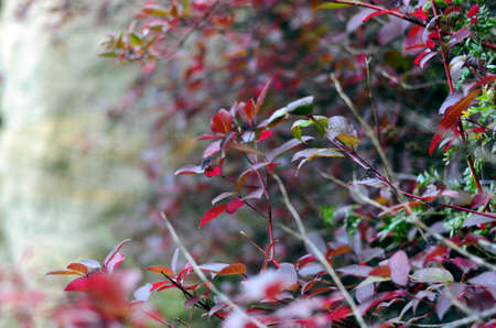 Shrub with red leaves in autumn and the taiga of Northern Yakutia.