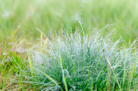 Dewdrops on tufts of green grass in the field early in the morning in the autumn in the wild North. Stockfoto
