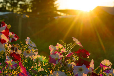 Bright yellow rays of the sun at sunset illuminate the blooming buds of colorful flowers of petunias in the village area in the North of Yakutia in the summer. Stockfoto