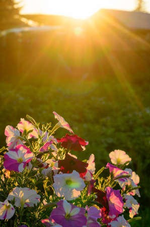 Bright yellow rays of the sun at sunset illuminate the flower bed with flowering buds of colorful flowers of petunias in the village in the North of Yakutia in the summer.