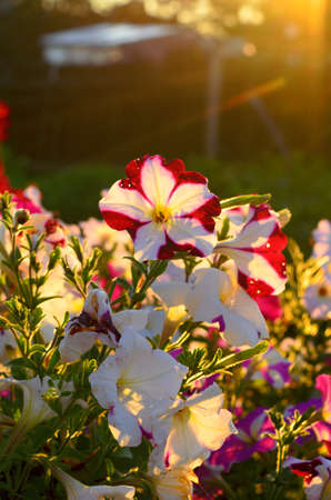 The suns rays at sunset because of the fence and the trees fall on the flower bed with flowering buds of colorful flowers of petunias in the village in the North of Yakutia in the summer.