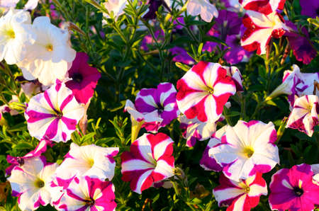 Bright two-color lilac-white Petunia flowers grow luxuriantly in the green grass in the setting sun.