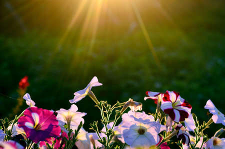 The sun's rays in a semicircle from above illuminate the bright blooming buds of Petunia flowers on the background of potato grass at sunset in the evening in a village in the North of Yakutia.