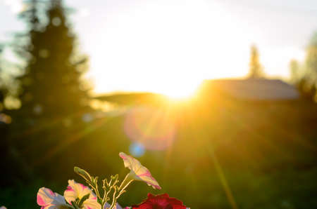 A bright sunset sun with rays from behind the roof and fence next to the silhouette of a fir tree illuminates the tops of a Bush of petunias on the grass and throws a sunbeam in the Northern village.