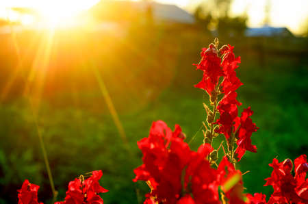 Bright red flower buds of snapdragons bloom at ilocate against an orange sunset rays. Stockfoto