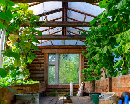 The wooden heated Northern greenhouse from within in Yakutia from a wooden bar with the pots raised above the earth with plants cucumbers and Windows in the summer in the afternoon.
