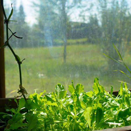 Lettuce grow in a wooden pot greenhouse at the window, bathed in sunlight on the background of the Yakut Northern rural area with a field and trees.