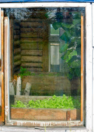 The window of a wooden greenhouse in the North of Yakutia with growing green leaves of lettuce in a pot. Stockfoto