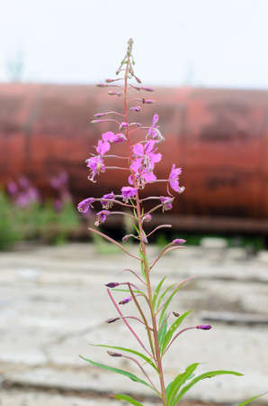 Lilac plants Ivan tea grow bushes on the background of abandoned plates and iron barrel.