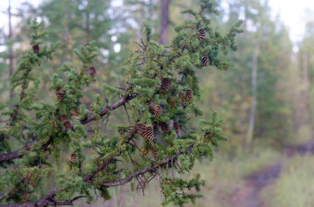 A thick branch of spruce with needles and cones hangs on the road in the Northern taiga forest of Yakutia. Imagens