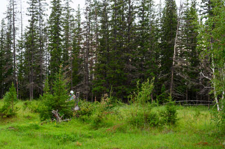 Girl tourist with a backpack, hiding behind small fir trees looking at the big wild forest of the tundra of Yakutia.