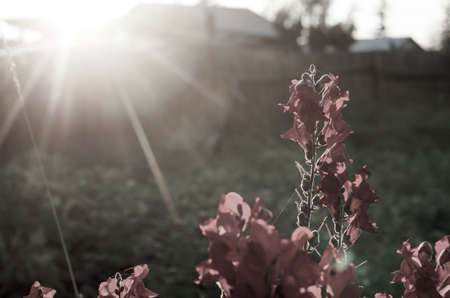 Photo less bright red flower buds of snapdragons bloom at ilocate against an orange sunset rays. Stock Photo