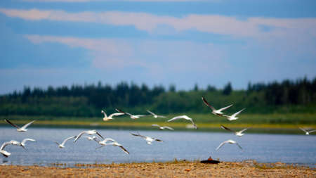 A small flock of wild Northern white birds seagulls flies up waving their wings over the Bank of the vilyu river in Yakutia on the background of taiga coniferous forest.