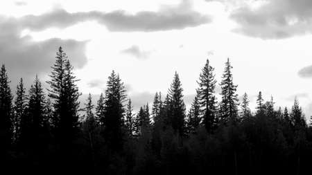 Black and white photo of coniferous trees in the tundra in the dark against the background of the clouds of the sun in the North of Yakutia.