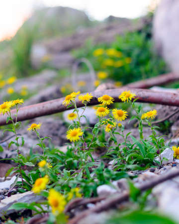 Yellow flowers like daisies doronikum grow on the stone shore among the debris of old iron and debris in the North of Yakutia.