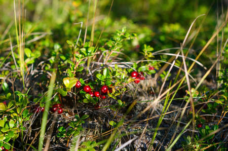 Illuminated by sunlight in a clearing in the Northern forest of Yakutia among the grass grow wild cranberries. Stok Fotoğraf