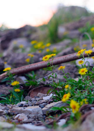 Yellow flowers similar to daisies doronikum among stones and fragments of old iron and garbage in the North of Yakutia.