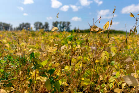 Field of soybeans in autumn on the background of trees. Imagens