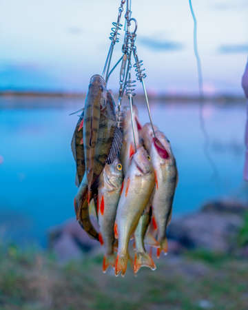 Many perch fish hanging caught by angler on Fish Stringer against the background of evening sunset on the lake.