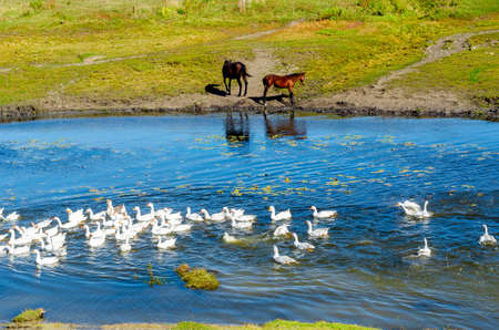 White domestic geese flock floating on a small river near the watering place of two small horses on the shore. Stok Fotoğraf