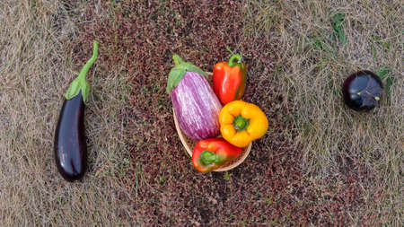 Still life of vegetables on autumn grass with two dark aubergines long and round and bright basket with peppers in the middle.