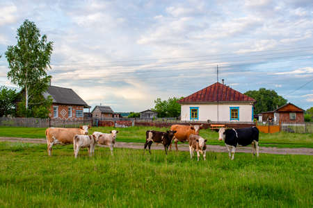 A herd of large and small cows with a man behind the fence at the village house looking in the same direction meeting in the evening in the field. Reklamní fotografie