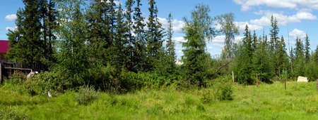 Panorama of overgrown abandoned plot with fir trees and bushes with a wild berry picker on the edge. Stock fotó