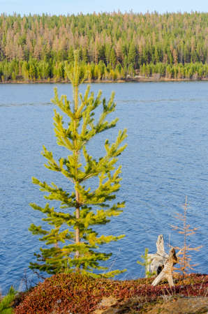 A wooden snag stump of an old tree lies on the Bank of the Vilyuy river in Yakutia next to a green spruce in autumn.