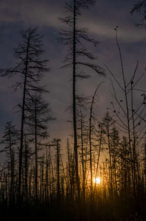 The bright light of the rising full moon behind the trees in the fir taiga at night in Yakutia.