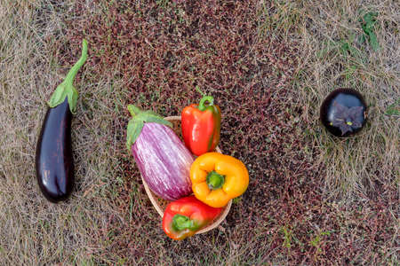 Still life of vegetables on autumn grass with two dark eggplants and a bright basket with peppers in the middle. 写真素材