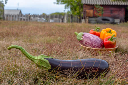 A dark black eggplant lies on the grass against the background of a basket of peppers on the autumn ground in the village behind the barn and the fence with the houses. 写真素材