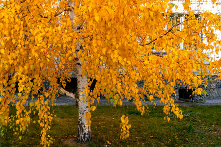 The bottom is a Bright white birch with yellow leaves growing near a residential large city house with apartment Windows.
