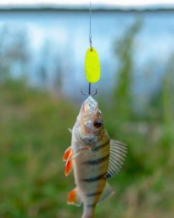 Caught bright fish hanging on a green perch fishing lure the minnow on the background of the lake. 写真素材