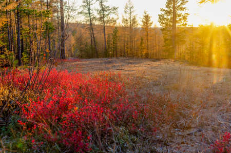 A bright colorful sunset with sun rays in the Northern taiga of Yakutia through the pine trees on the mountain illuminates the autumn red leaves of tundra bushes and white moss.