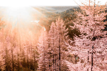 Abstract photo bright colorful sunset with sun rays in the Northern taiga of Yakutia on the background of pink fir trees in autumn on a mountain with a river below in the forest. 写真素材