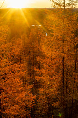 Bright colorful sunset with sun rays in the Northern taiga of Yakutia on the background of yellow fir trees in autumn on a mountain with a river at the bottom of the forest.