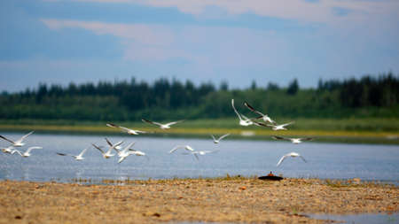A flock of wild Northern white birds seagulls flies waving wings over the Bank of the river vilyu in Yakutia on the background of the taiga spruce forest under the blue sky and clouds.