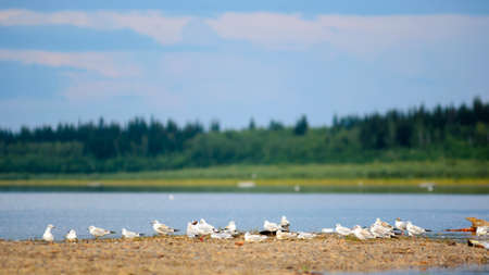 A flock of small white gulls sitting on the stone ledge of the North Bank of the Vilyui river in Yakutia on the background of the taiga spruce forest under blue sky.