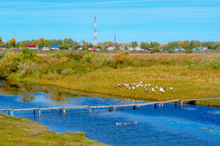 Domestic geese gray and white sit on the grass in flocks and swim on the river at the wooden bridge on the background of village houses and communication towers. 写真素材