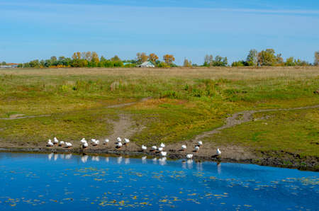 Flocks of white domestic geese walk along the shore drink water and wash by the river with water lilies on the background of a village house in a green field near the trees of the forest. Foto de archivo