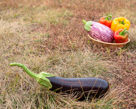 A dark black eggplant lies on the grass against a basket of peppers on the autumn ground.