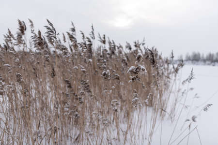 A lush dry inflorescence of reed grass is covered with snow in winter against the background of a field near a lake with trees on the other side in a Blizzard.