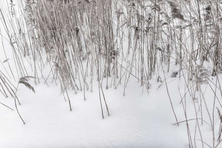 Dry stalks of cane grass grow from white snow in winter. Stockfoto